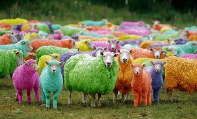 sheep-5